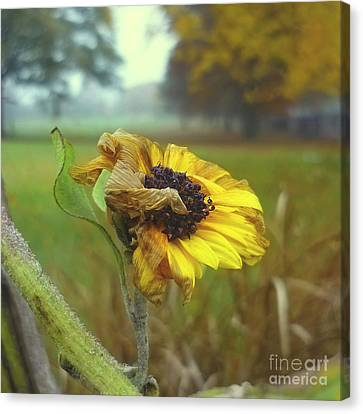 Sunflower At Summers End Canvas Print by Jeff Breiman