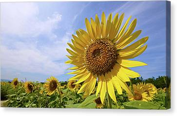 Sunflower In Summer Bloom Canvas Print by Moonie's World