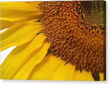 Sunflower Canvas Print by Joan Powell