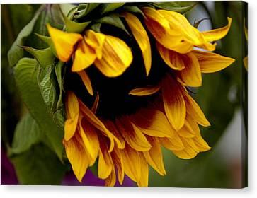 Sunflower Canvas Print by Jonathan Schreiber