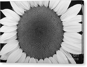 Sunflower Trance Canvas Print by James BO  Insogna