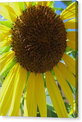 Sunflower-two Canvas Print by Todd Sherlock