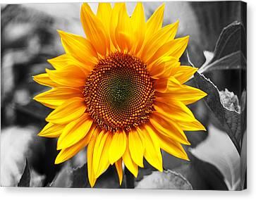 Sunflowers 3 Canvas Print by Sumit Mehndiratta