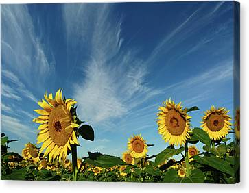 Sunflowers Canvas Print by Robin Wilson Photography