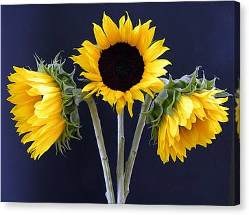 Sunflowers Three Canvas Print by Sandi OReilly