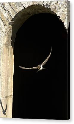 Swallow In Flight Canvas Print by John Short