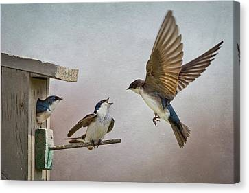 Swallows At Birdhouse Canvas Print by Betty Wiley