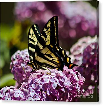 Swallowtail On Lilac 2 Canvas Print by Mitch Shindelbower