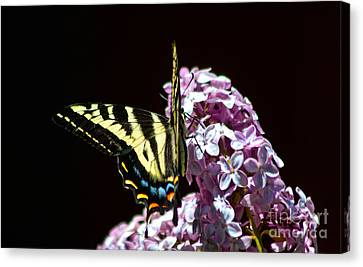Swallowtail On Lilac 3 Canvas Print by Mitch Shindelbower