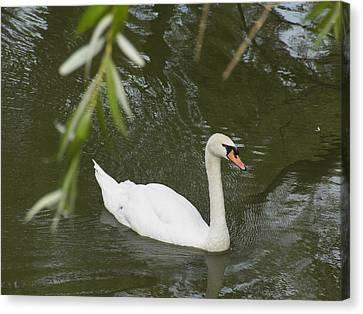 Swan Enjoying A Swim Canvas Print by Corinne Elizabeth Cowherd