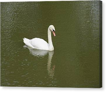 Swan Looking At Reflection Canvas Print by Corinne Elizabeth Cowherd