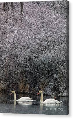 Swans At Mill Pond Yarmouth On Cape Cod Canvas Print by Matt Suess