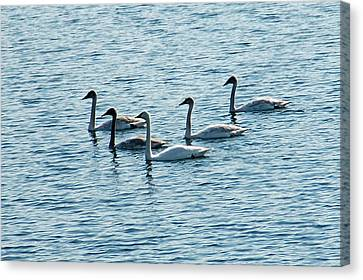 Swans Swimming Canvas Print by Aimee L Maher Photography and Art Visit ALMGallerydotcom