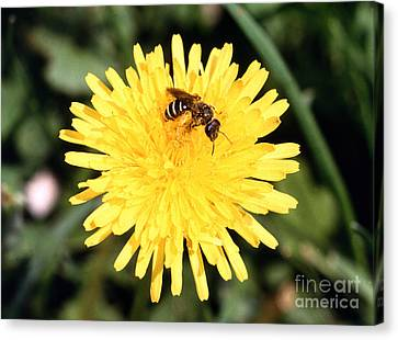 Sweat Bee Canvas Print by Science Source