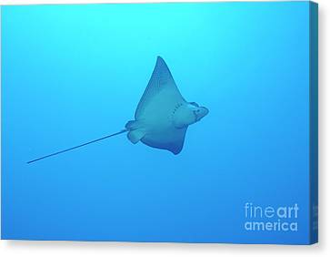 Swimming Spotted Eagle Rays Canvas Print by Sami Sarkis