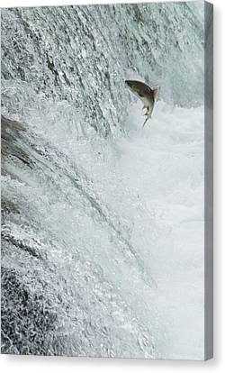 Swimming Upstream Canvas Print by Gloria & Richard Maschmeyer