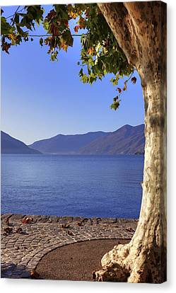 sycamore tree at the Lake Maggiore Canvas Print by Joana Kruse