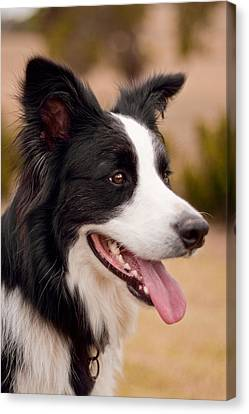 Taj - Border Collie Profile Canvas Print by Michelle Wrighton