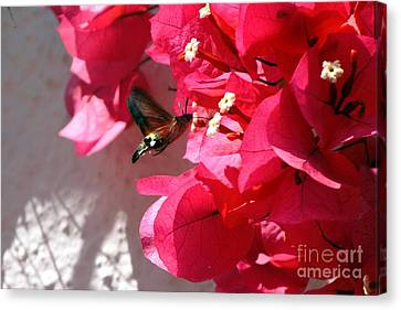 Taking The Nectar Canvas Print by John Chatterley