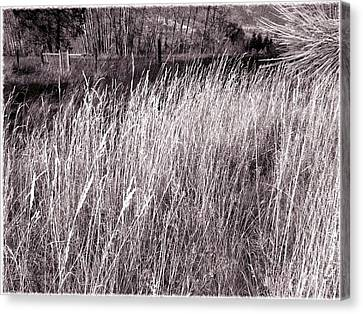 Tall Grasses Canvas Print by Will Borden