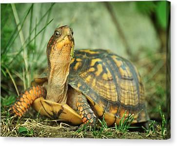 Terrapene Carolina Eastern Box Turtle Canvas Print by Rebecca Sherman
