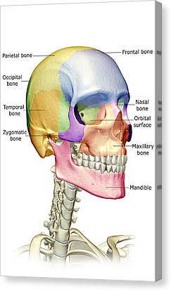 The Bones Of The Head, Neck And Face Canvas Print by MedicalRF.com