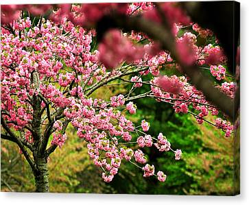 The Cherry Orchard Canvas Print by Rebecca Sherman