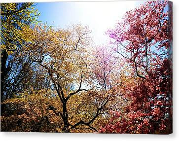 The Grandest Of Dreams - Cherry Blossoms - Brooklyn Botanic Garden Canvas Print by Vivienne Gucwa