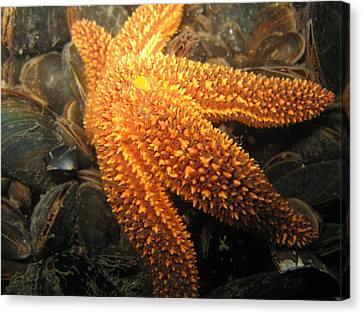 The Great Starfish Canvas Print by Paul Ward