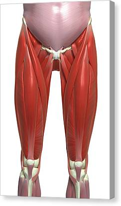 The Muscles Of The Lower Limb Canvas Print by MedicalRF.com
