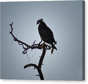 The Osprey Canvas Print by Bill Cannon