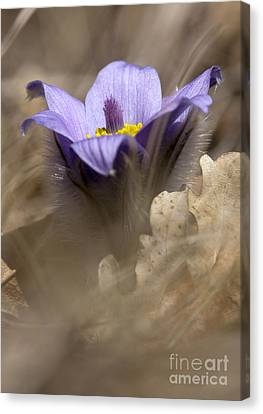 The Pulsatilla Canvas Print by Odon Czintos