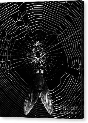 The Spider And The Fly . Black And White Canvas Print by Wingsdomain Art and Photography