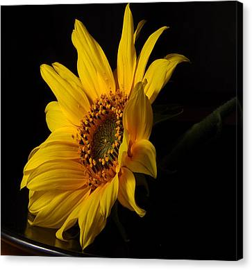 The Sun Flower  Canvas Print by Davor Sintic