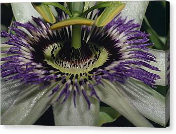 The Vivid Purple And Intricate Canvas Print by Jason Edwards