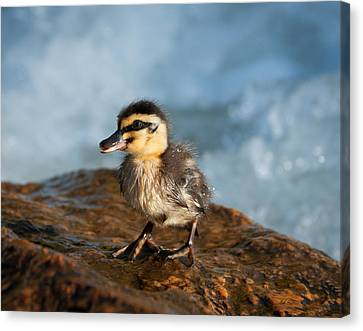 This Little Duck Canvas Print by Heather Thorning