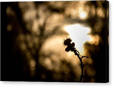 Thistle And Weeds Canvas Print by Justin Albrecht
