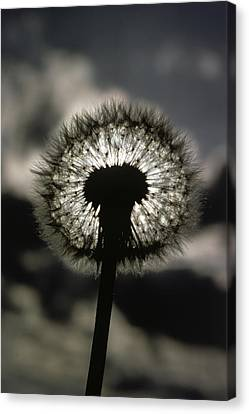 Thoreau Called A Dandelion A Complete Canvas Print by Farrell Grehan