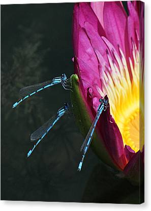 Three Damselflies On Pink Waterlily Canvas Print by Becky Lodes