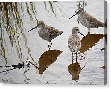 Three Long Billed Dowitchers Canvas Print by Roena King