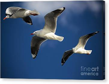 Three Silver Gulls Canvas Print by Avalon Fine Art Photography