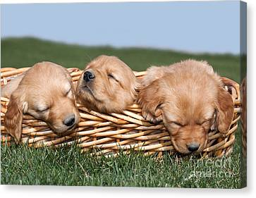 Three Sleeping Puppy Dogs In Basket Canvas Print by Cindy Singleton