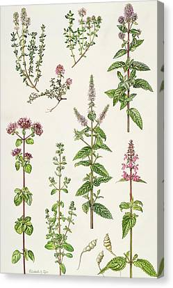 Thyme And Other Herbs  Canvas Print by Elizabeth Rice