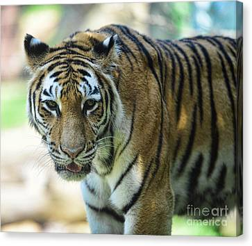 Tiger - Endangered - Wildlife Rescue Canvas Print by Paul Ward
