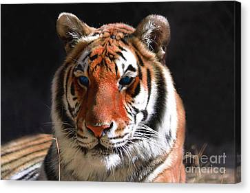 Tiger Blue Eyes Canvas Print by Rebecca Margraf