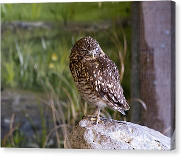 Time For A Wee Snooze Canvas Print by Dick Jones