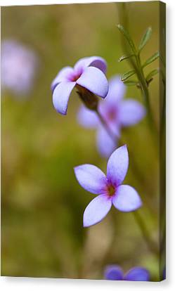 Tiny Bluet Wildflower - Houstonia Pusilla Canvas Print by Kathy Clark
