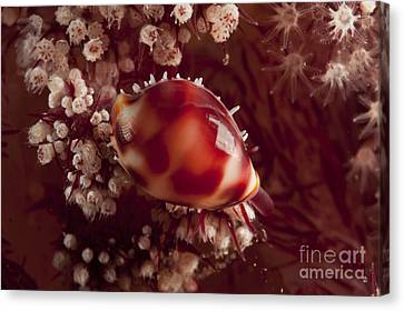 Tiny Cowrie Shell On Dendronephtya Soft Canvas Print by Mathieu Meur