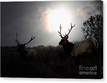 Tomales Bay California Tule Elks At Sunrise . 7d4402 Canvas Print by Wingsdomain Art and Photography
