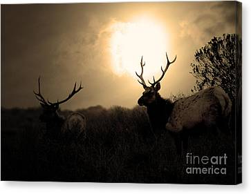 Tomales Bay California Tule Elks At Sunrise . Golden . 7d4402 Canvas Print by Wingsdomain Art and Photography